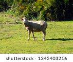 flock of spanish merino sheep...   Shutterstock . vector #1342403216