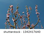 branches of apricot tree... | Shutterstock . vector #1342417640