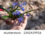 blue snowdrops on the palms of... | Shutterstock . vector #1342419926