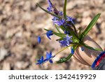 blue snowdrops in the hand of a ... | Shutterstock . vector #1342419929