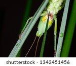 coneheads  subfamily...   Shutterstock . vector #1342451456