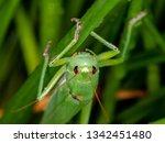 coneheads  subfamily...   Shutterstock . vector #1342451480