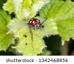 omophoita argus in nature   Shutterstock . vector #1342468856