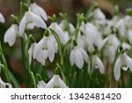 close up of common snowdrops ... | Shutterstock . vector #1342481420