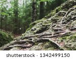 roots overgrowing a rock with...   Shutterstock . vector #1342499150