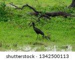 open billed stork in luangwa...   Shutterstock . vector #1342500113