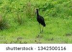 open billed stork in luangwa...   Shutterstock . vector #1342500116