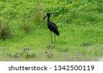 open billed stork in luangwa...   Shutterstock . vector #1342500119