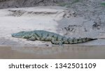 a crocodile along the luangwa...   Shutterstock . vector #1342501109