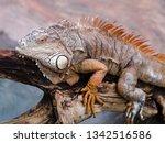 huge adult iguana resting in...   Shutterstock . vector #1342516586