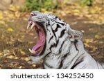 A Yawning White Bengal Tiger.