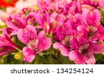 Blooming Peruvian Lilies In A...