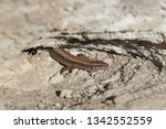 small lizard getting scared and ... | Shutterstock . vector #1342552559