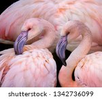 pink flamingos close up in the...   Shutterstock . vector #1342736099