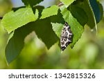 an argent and sable moth on a...   Shutterstock . vector #1342815326