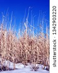 bright yellow dry reeds and... | Shutterstock . vector #1342903220