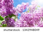 Lilac Flowers   Purple Lilac In ...