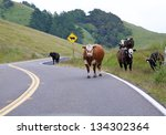 Cows In The Road On A Rainy Da...