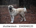 Anatolian Shepherd Dog In The...