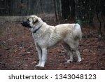 Anatolian Shepherd Dog Standing ...