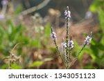 Small photo of Simpler's-joy or Verbena officinalis
