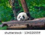 Stock photo panda bear head sticking out 134320559