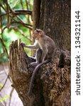 Small photo of Wild monkey sitting on a tree (Macacus mulatta)