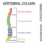 diagram of a human spine with... | Shutterstock .eps vector #1343233880