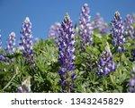 The Purple Lupinus Flowers In...