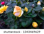 beautiful yellow rose close up. ... | Shutterstock . vector #1343469629