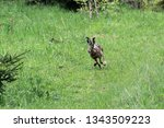 Stock photo a wild hare runs green grass in a field around which the forest 1343509223