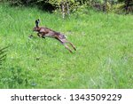 Stock photo a wild hare runs green grass in a field around which the forest 1343509229