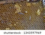 wax moth larvae on an infected...   Shutterstock . vector #1343597969