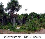 vegetation regenwald ... | Shutterstock . vector #1343642309
