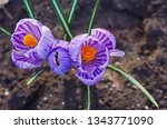 purple primroses spring...   Shutterstock . vector #1343771090