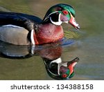 Colorful Drake Wood Duck With...