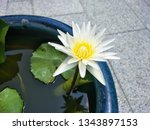 lotus flower blooming in water  ... | Shutterstock . vector #1343897153