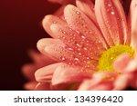 closed up pink chrysanthemum | Shutterstock . vector #134396420
