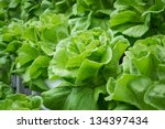 fresh hydroponic vegetables... | Shutterstock . vector #134397434