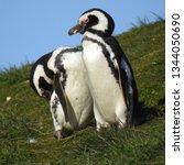 penguins  seagulls. magdalena... | Shutterstock . vector #1344050690
