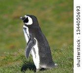 penguins  seagulls. magdalena... | Shutterstock . vector #1344050693