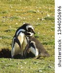 penguins  seagulls. magdalena... | Shutterstock . vector #1344050696