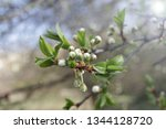 spring orchard tree blooms.... | Shutterstock . vector #1344128720