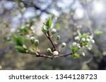 spring orchard tree blooms.... | Shutterstock . vector #1344128723