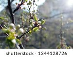 spring orchard tree blooms.... | Shutterstock . vector #1344128726