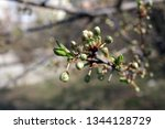 spring orchard tree blooms.... | Shutterstock . vector #1344128729