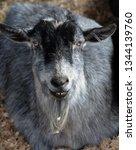 the domestic goat  capra... | Shutterstock . vector #1344139760