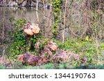 a recently felled tree stump... | Shutterstock . vector #1344190763