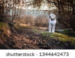 Dogo Argentino White Dog On The ...