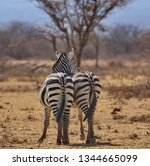 Buffalo Springs National Reserve in Kenya.   Two zebras protecting each others from the flies.